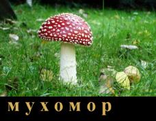мухомор3
