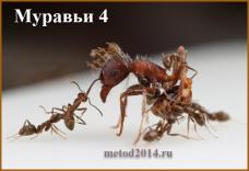 Муравьи 4.4