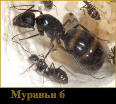 муравьи 6(2)